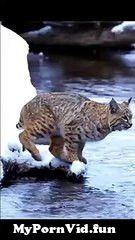 View Full Screen: tiger pub jump viral animals video.jpg