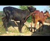 murrha bull lover