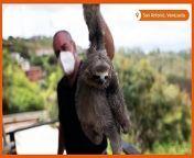 Slideshow- Venezuela couple nurses sloths at home shelter
