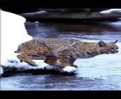 Shortvideoof tigerpubjumping, viral animalsvideo clip